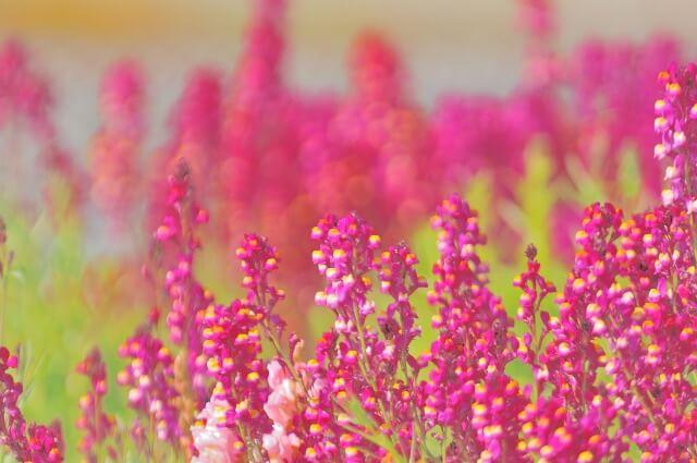 可愛いピンクの花畑