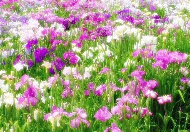 たくさんの菖蒲の花