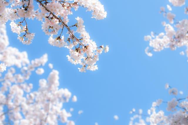 桜咲く水色の青空