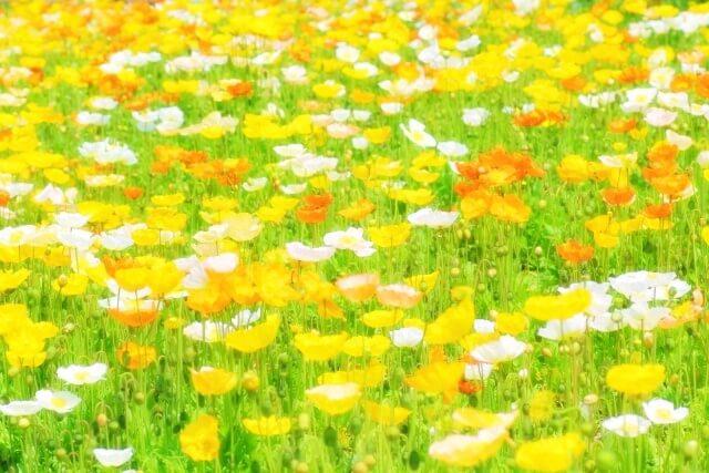 黄色と白の花畑