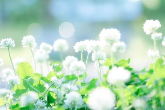 蓮華の花畑