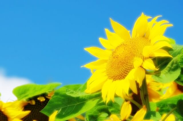青空を向くひまわりの花