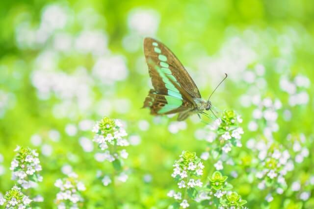 花の蜜を吸って休憩する蝶