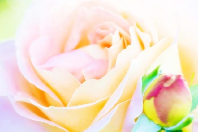 癒されるバラの花