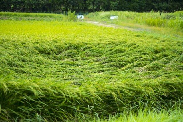 台風の後の稲