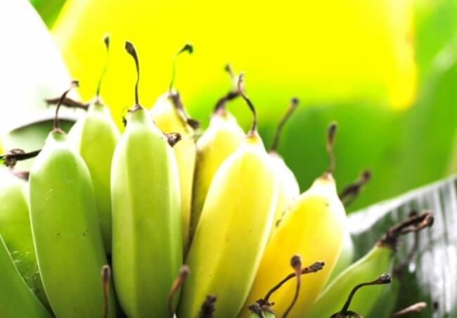 たわわに実るバナナ