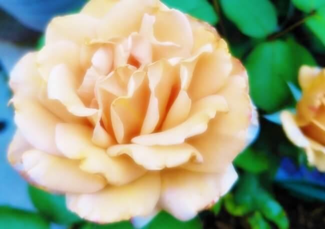 ベージュの花