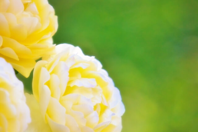 尾関梨香カラーの黄色いバラの花