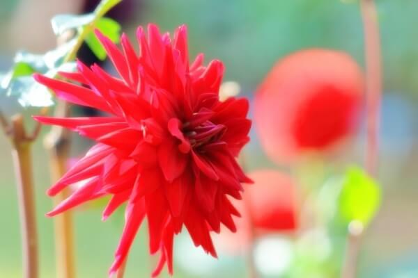 西畑大吾のメンバーカラーの花